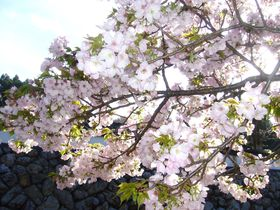 歴女気分で行く平家ゆかりの地・伊勢市横輪の「横輪桜」を愛でる|三重県|トラベルjp<たびねす>