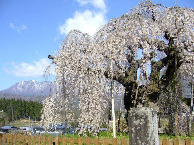 長い枝が風に揺れる、堂々とした風格の枝垂桜
