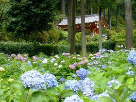 三室戸寺でアジサイ絵巻も堪能!源氏物語ゆかりの地「宇治」|京都府|トラベルjp<たびねす>