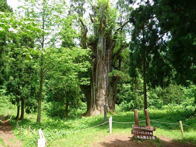 1800年という時空を越えて生き続ける杉の立木「石徹白の大杉」