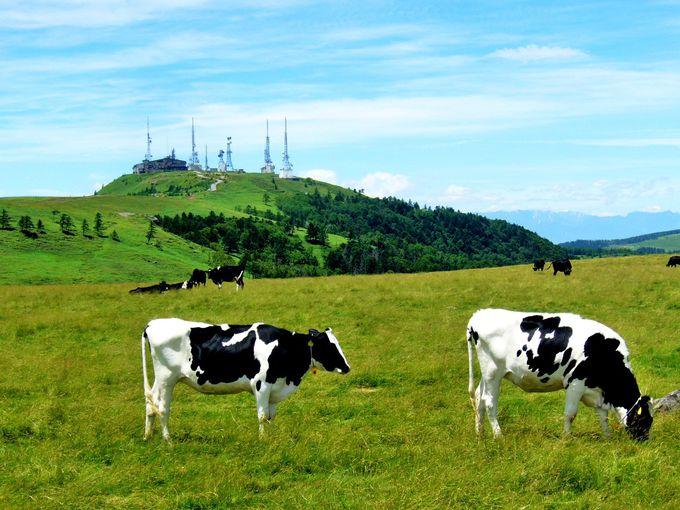 牛の放牧は美ヶ原の定番の風景