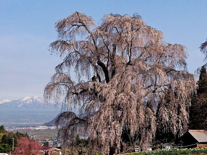 昔を偲ばせるお堂が趣深い「水中のしだれ桜」「赤和観音のしだれ桜」