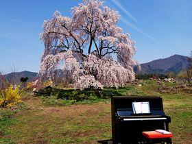 信州高山村に春を告げる「和美の桜」と「五大桜」|長野県|トラベルjp<たびねす>