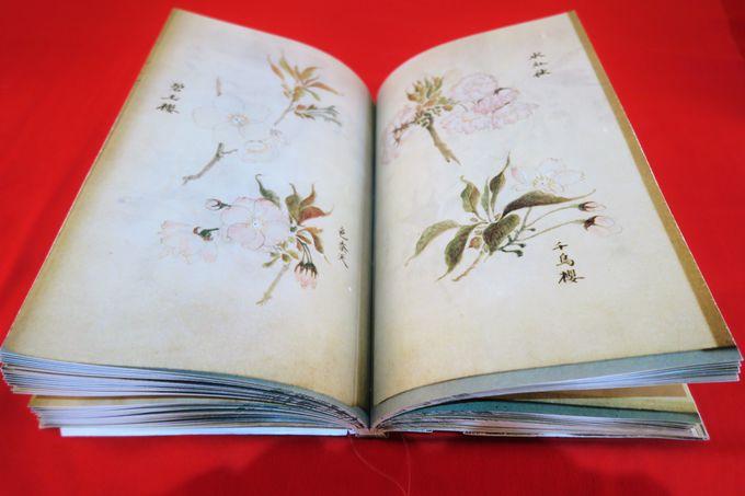 須坂市博物館で見る咲き誇る紙面の桜『叒譜(じゃくふ)』