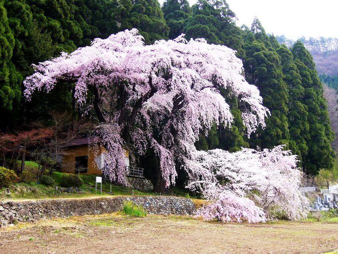 夫婦で寄り添う山里の桜「大日向観音堂のしだれ桜」