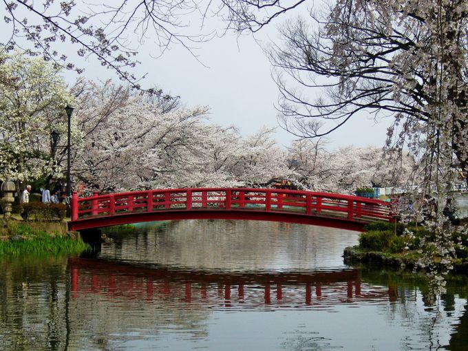 絵画にように竜ヶ池に咲き誇る湖面の桜花「臥龍公園」
