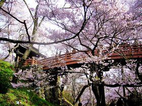 高遠城址公園や一本桜も!南信州・伊那谷のアルプスを彩る名桜めぐり