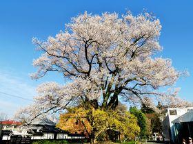 名桜の宝庫「一本桜の里」南信州飯田の春を旅する!