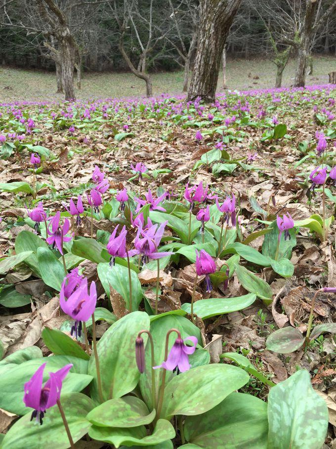 かたくりの花が作り出す!紫のじゅうたんの美しさ