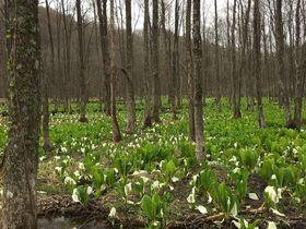 まさに春色!仙北市「刺巻湿原の水芭蕉」と「八津のかたくり群生の郷」|秋田県|トラベルjp<たびねす>