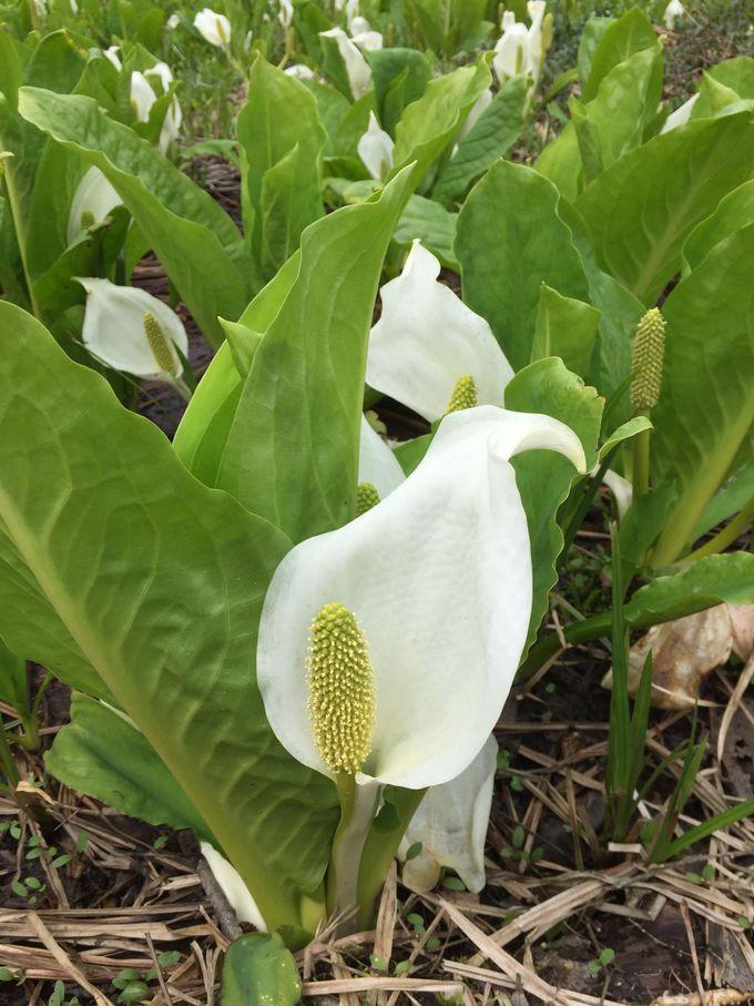 白と緑が美しい!刺巻湿原のミズバショウ群生地