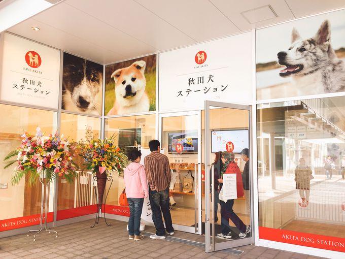 本場秋田でモフモフわんこに会える!「秋田犬ステーション」