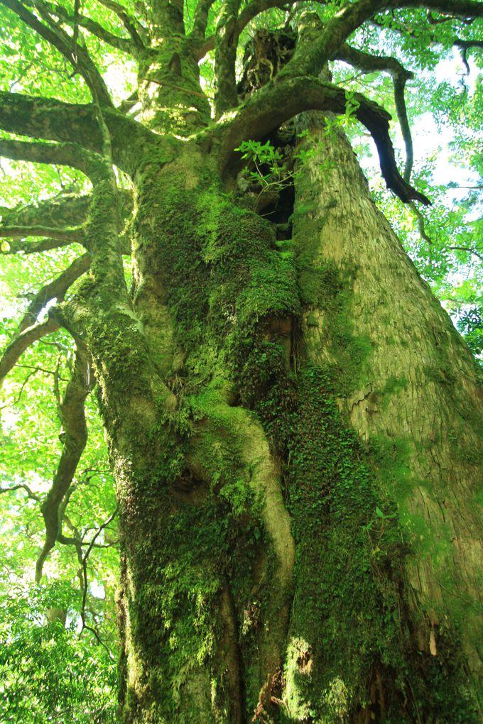 樹齢が2000年を超える木があちこちに!