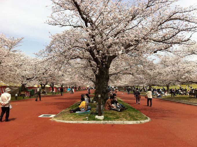 お花見のメインは自然文化園の東大路