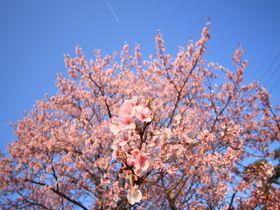ハチスカザクラって知ってる?徳島「原田家住宅」で一足早いお花見を|徳島県|トラベルjp<たびねす>