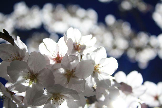 夜桜も楽しめる