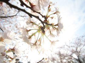 桜の名所「徳島中央公園」は電車好き&城好きさんにもオススメのお花見スポット|徳島県|トラベルjp<たびねす>