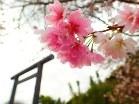 """秋に桜?千葉県野田市の桜スポット""""サクラサク""""櫻木神社"""