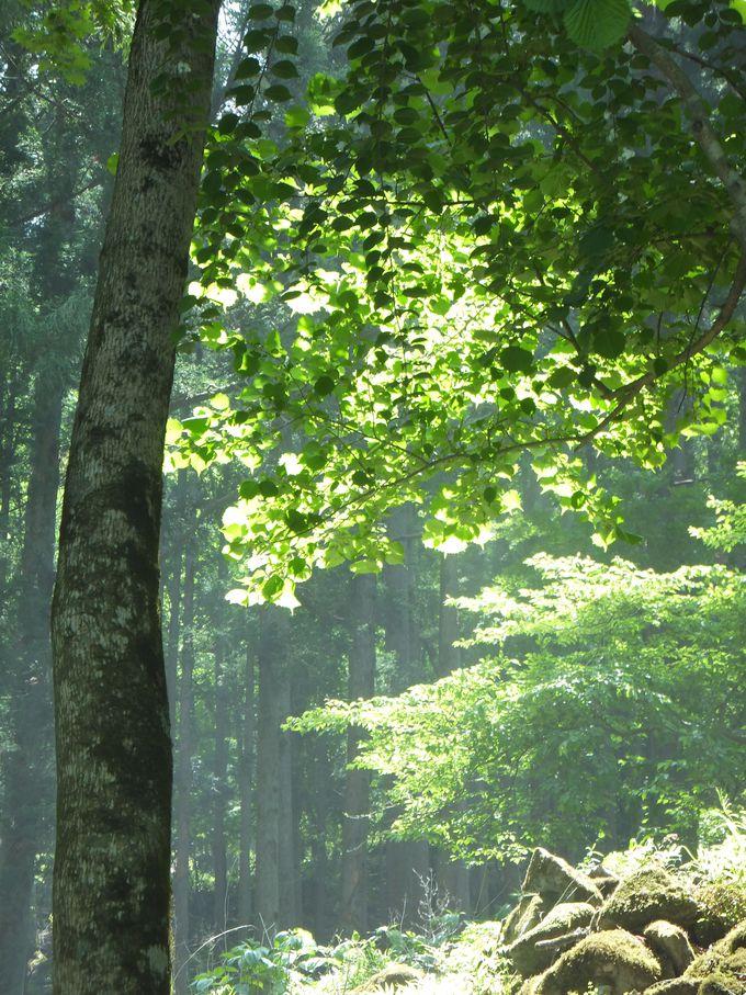 初夏に煌く緑のシャワー!新緑のトンネルが美しい