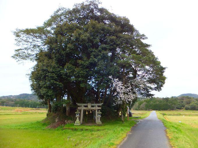 まあるい森に包まれた「客神社」の伝説