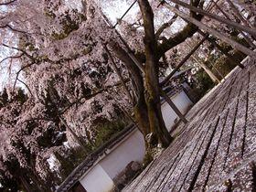 京都・醍醐寺で必見の大紅しだれ桜!境内に約1000本ある桜の見頃とは
