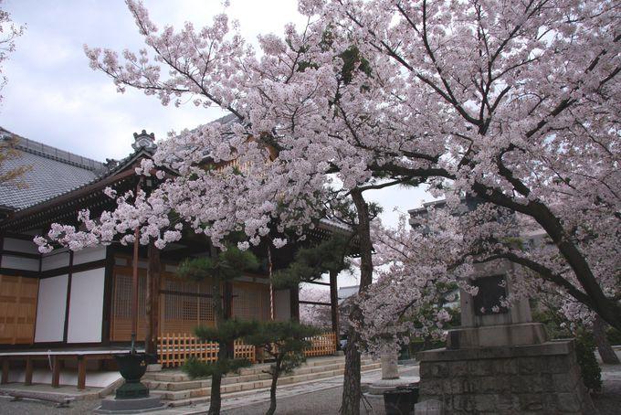 日蓮が入滅したときに開花した桜「妙蓮寺」