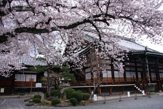松と本堂と桜のコントラストが美しい!「本隆寺」