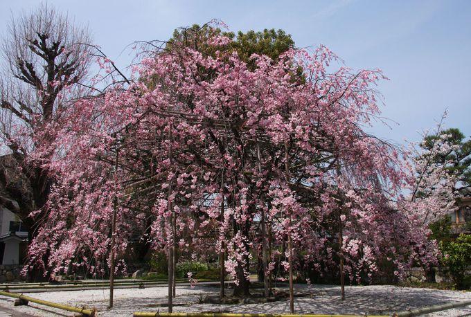 入り口の紅枝垂れ桜(ベニシダレサクラ)が美しい!