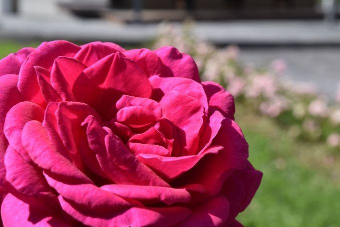 カザンラクのバラについて学ぶ・触れる