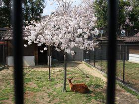 動物×桜×ライトアップを一度に!神戸桜の名所「神戸市立王子動物園」