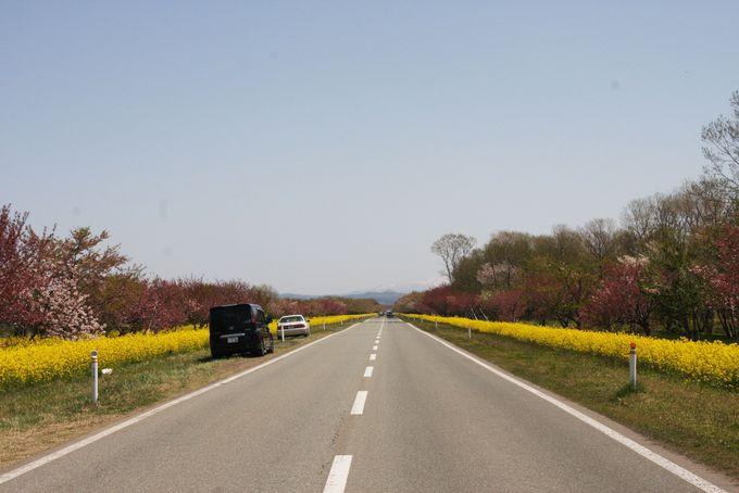 11kmも続く菜の花ロードは春の風物詩