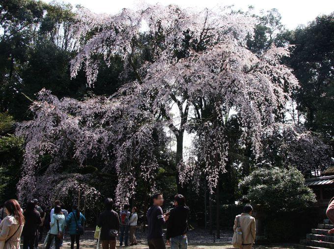 五重塔前の植樹広場のしだれ桜