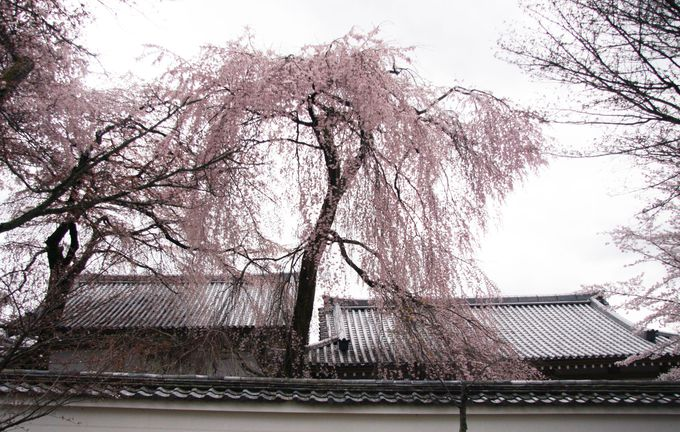醍醐寺・霊宝館の見事なしだれ桜と桜のトンネル