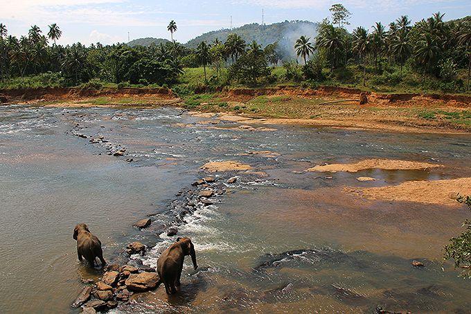 象の群れに圧倒!スリランカ「ピンナワラの象の孤児院」でジャングルの象たちに会おう