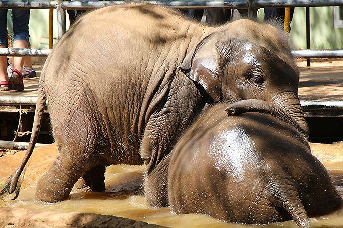 ピンナワラの象の孤児院で子象に癒される