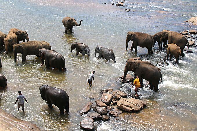 ジャングルの川での象の水浴びは必見