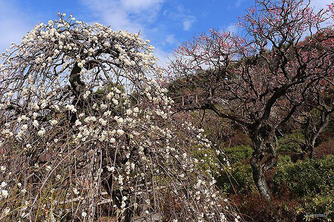 370本の梅が見られる池上梅園