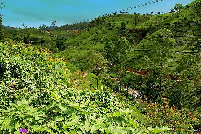 セイロン茶の名産地「ヌワラエリヤ」