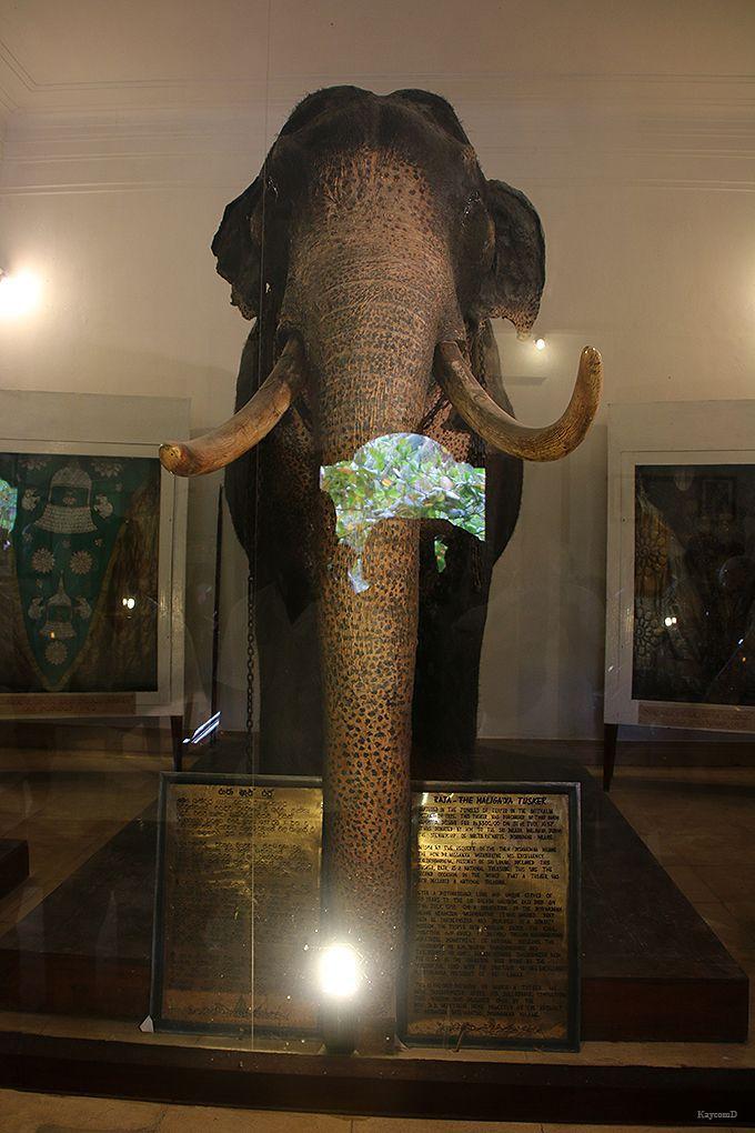 ペラヘラ祭で活躍した象の展示室