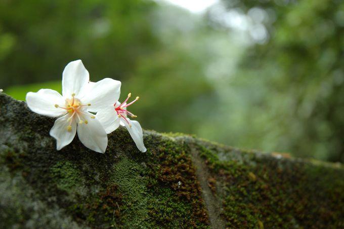 台湾の「油桐花」他にはどこで見られるの?2017年台北からのアクセスは?