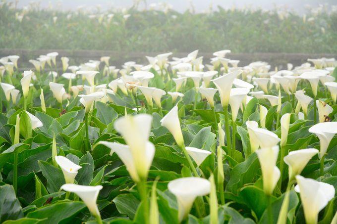 台北「陽明山」の花々も四季を通じておすすめ!