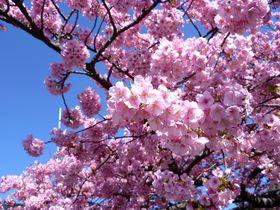 河津桜の本場を満喫!伊豆「河津桜まつり」の知っておきたいポイント|静岡県|トラベルjp<たびねす>
