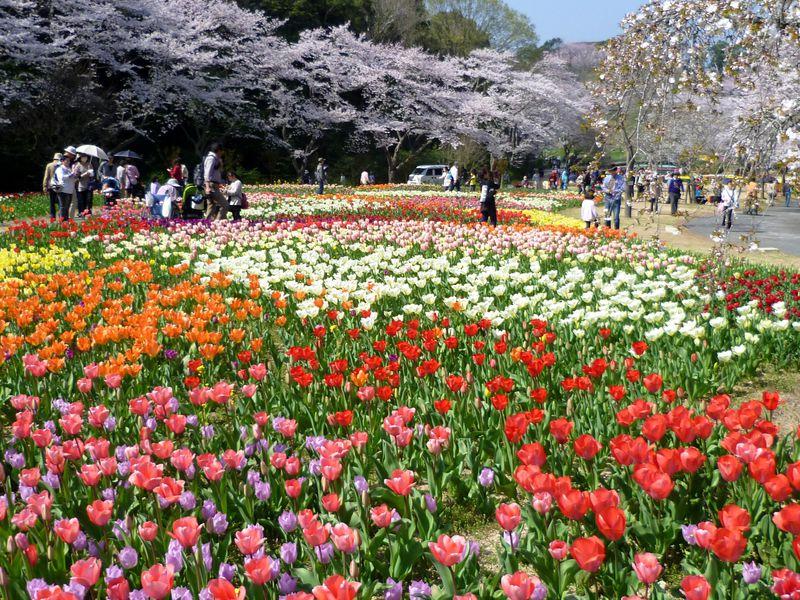 世界一美しい「桜とチューリップの庭園」!はままつフラワーパークのここが凄い