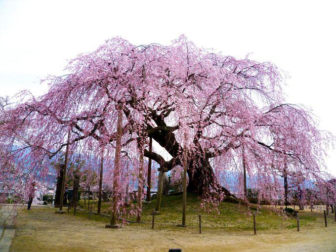 伊那谷で最も人気の高い名桜!