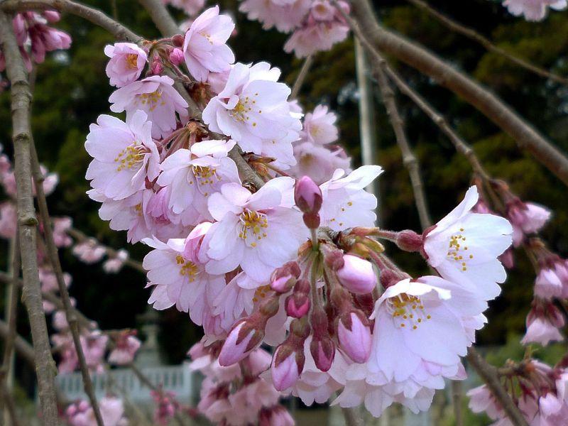 花びらの数が花ごとに違う!南信州飯田「麻績の里 舞台桜」