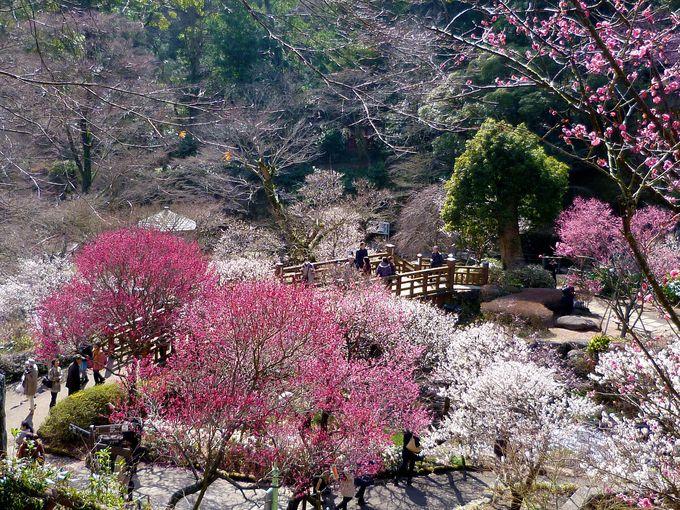 静岡で一足お先に!「河津桜・早咲き梅・水仙」で春を先取り