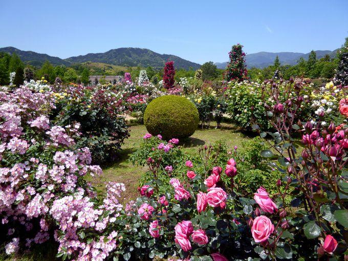 バラの見頃とローズガーデンの美しさのポイント!
