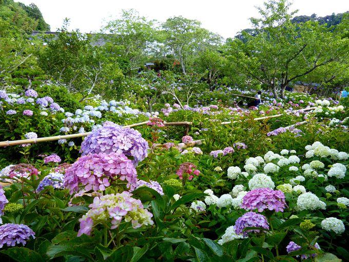 紫陽花の名所!「あじさい寺」実谷山 極楽寺