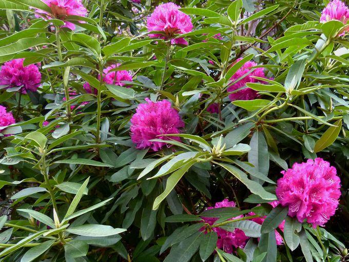 桜・しゃくなげの森・藤のトンネル!伊豆「修善寺 虹の郷」の春を堪能