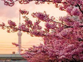 河津桜×スカイツリーの絶景!都内の河津桜ベストスポット|東京都|トラベルjp<たびねす>